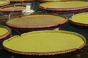 Giant Amazonian Water Lilies, Como Park Zoo and Conservatory, Minneapolis, Minnesota