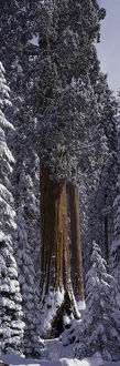 Giant Sequoia tree covered in fresh snow, Sequoia Kings Canyon National Park, California