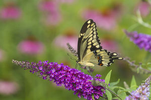 Giant Swallowtail butterfly (Papilio cresphontes) on Butterfly Bush (Buddlei davidii)