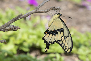Giant Swallowtail butterfly (Papilio cresphontes) newly emerged near chrysalis, Marion Co