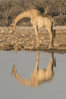 Giraffe bends over to drink at a waterhole, reflecting in the water, in Etosha National