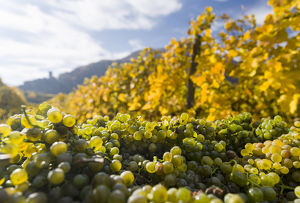 Grape Harvest by traditional hand picking in the Wachau area of Austria