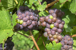 Grapes on vine, Anyela's Vineyard, Skaneateles, New York, USA