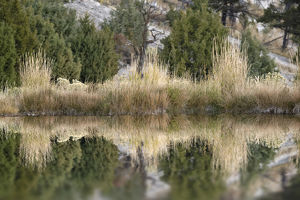 Grass reflection, Canary Spring, Yellowstone National Park, Montana/Wyoming