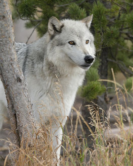 Gray/Grey Wolf, Canis lupus, West Yellowstone, Montana, controlled, (MR)