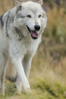 Gray/Grey Wolf running in a fall drizzle, Canis lupus, West Yellowstone, Montana