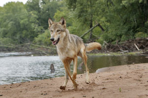 Gray Wolf running, Canis lupus (Controlled Situation) Minnesota