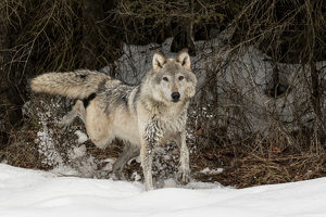 Gray Wolf or Timber Wolf marking territory in winter, (Captive Situation) Canis lupis