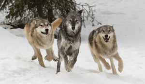 Gray Wolf or Timber Wolf , pack behavior in winter, (Captive Situation) Canis lupis