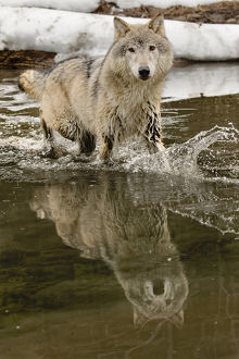 Gray Wolf or Timber Wolf reflection crossing stream in winter, (Captive Situation)
