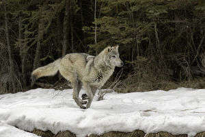 Gray Wolf or Timber Wolf running on snow in winter, (Captive Situation) Canis lupis