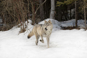 Gray Wolf or Timber Wolf in winter, (Captive Situation) Canis lupis, Montana