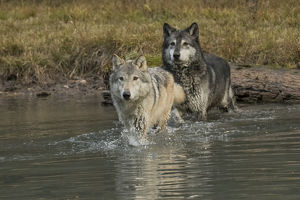 Two Gray Wolves crossing stream, Montana