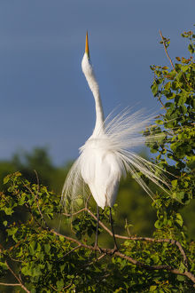Great Egret (Ardea alba) adult displaying