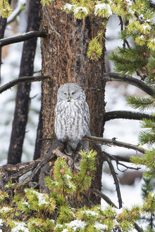 Great Gray Owl (Strix nebulosa) in snowstorm, Yellowstone National Park, WY