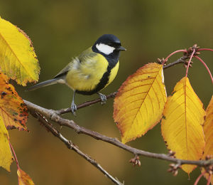 Great Tit (Parus major), adult perched on autumn branch of Cherry tree (Prunus sp