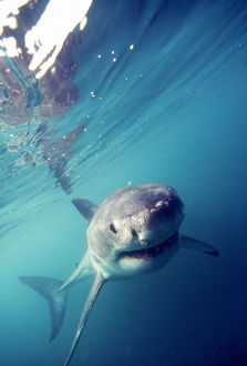 Great White Shark (Carcharodon Carcharias) South Africa
