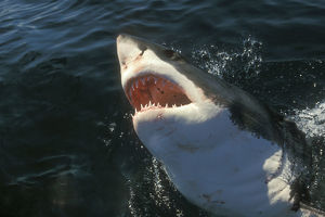 Great White Shark (Carcharodon carcharius) South Africa