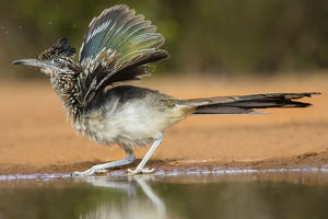 Greater Roadrunner (Geococcyx calfornianus)