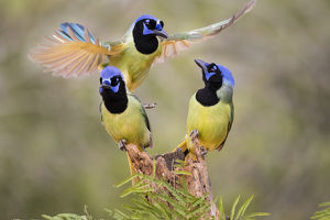 Green Jay (Cyanocorax yncas) adults fighting for a perch