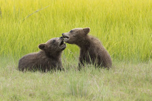 Grizzly bear cubs (ursus arctos) playfight in a meadow