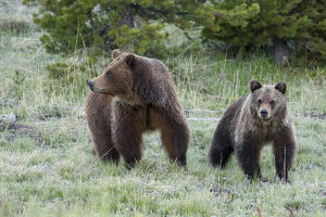 Grizzly Bear Sow with Cub