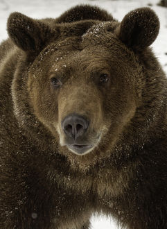 Grizzly Bear in winter, Ursus arctos, (Captive) Montana
