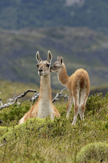 Guanaco and baby (Lama guanaco), Andes Mountain, Torres del Paine National Park, Chile