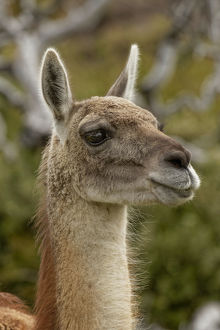 Guanaco portrait, Torres del Paine National Park, Chile, South America.Patagonia