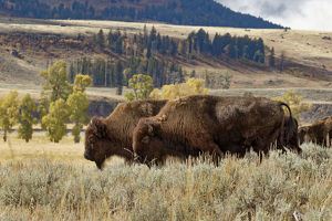 Herd of Bison in fall, Lamar Valley, Yellowstone National Park, Montana/Wyoming