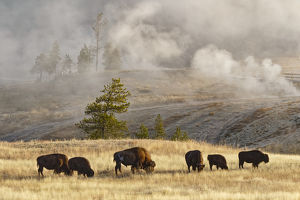 Herd of Bison near Old Faithful Geyser Upper Geyser Basin, Yellowstone National Park