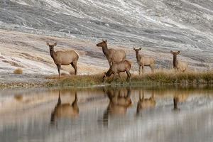 Herd of Elk and reflection, Canary Spring, Yellowstone National Park, Montana/Wyoming