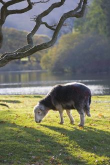 Herdwick sheep