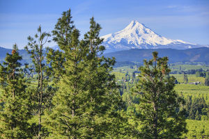 Hood River, Oregon. Snow Covered Mount Hood, Orchard Valley, and Pine Trees