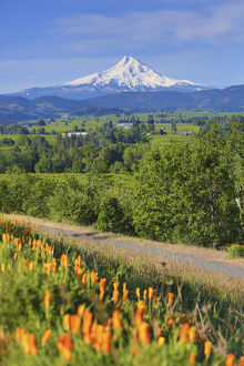 Hood River, Oregon. Wildflowers, Hood River Valley, and a snow capped Mount Hood