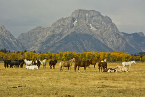 horses, Elk Ranch Flats, Grand tetons, Grand Teton National Park, Wyoming, USA