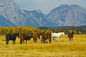 horses in the meadow, Elk Ranch Flats, Grand Teton National Park, Wyoming, USA