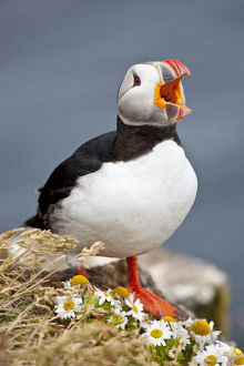 Iceland, Breidavik, Puffin Calling Out