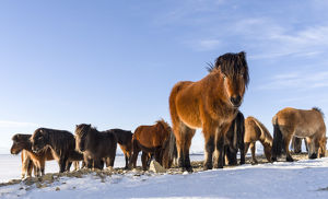 Icelandic Horse during winter in Iceland with typical winter coat
