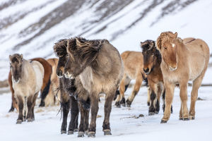 europe/iceland/icelandic horses winter pasture near hofn iceland