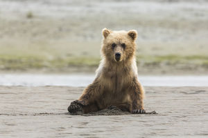 Immature coastal grizzly bear (ursus arctos) sits on beach. Lake Clark National Park