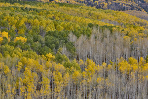 Keebler Pass, Colorado, Fall golden aspens