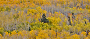 Keebler Pass, Colorado, Fall golden aspens in Panorama