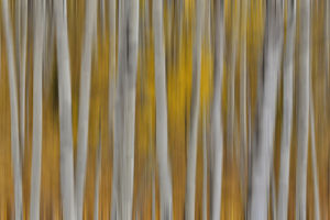 Keebler Pass, Colorado, Fall golden aspens Panning the tree trunks