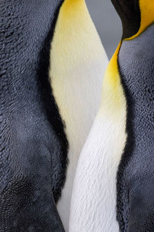 King penguin close-up showing the colorful curves of their feathers. St. Andrews Bay