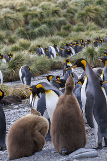 King penguin rookery on Gold Harbor. South Georgia Islands