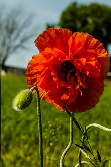 Lancaster County, Pennsylvania. Large, red poppy, a flower bud, and field of green grass