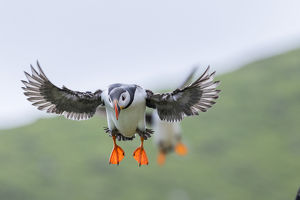 Landing in a colony. Atlantic Puffin (Fratercula arctica) in a puffinry on Mykines
