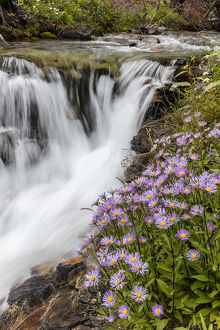 Leafy aster along Baring Creek in Glacier National Park, Montana, USA