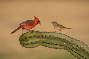 Lincoln's Sparrow (Melospiza lincolnii) with northern cardinal on cactus